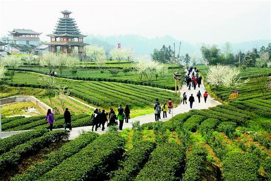 恩施芭蕉乡以茶叶产业优势打造恩施玉露生态走廊